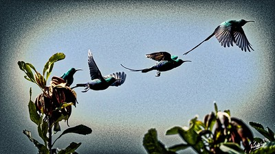 Lockdown Sunbirds (and friends): the Eastern Cape