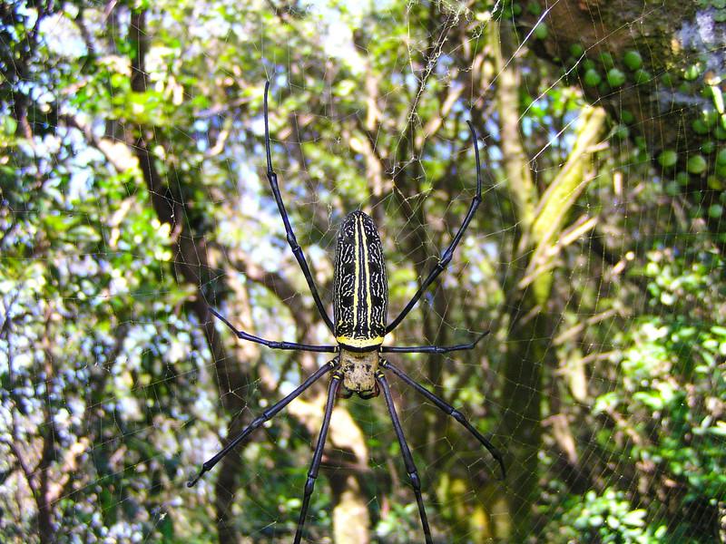 Giant Golden Orb Weaver (Nephila pilipes)