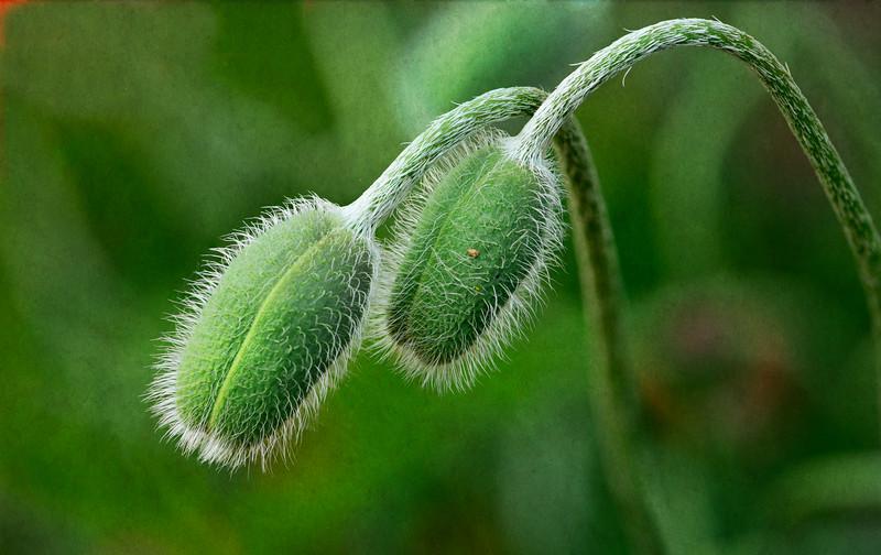 Poppy pods_May 27-2012_02.jpg