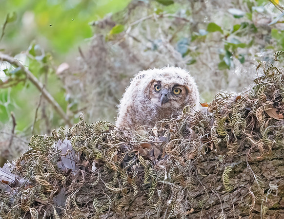 Great-horned owls - 2020