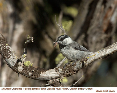 MountainChickadee28196.jpg