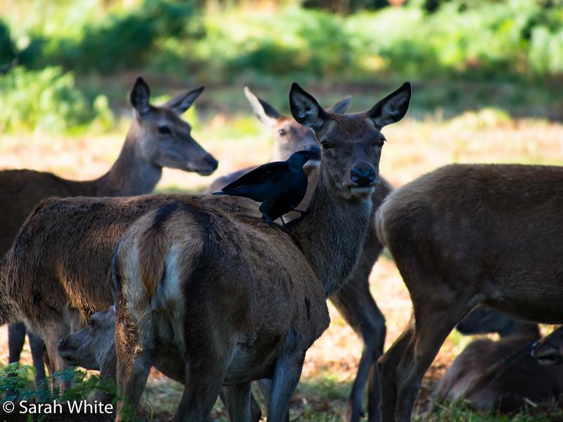 Deer rut_260915_591.jpg