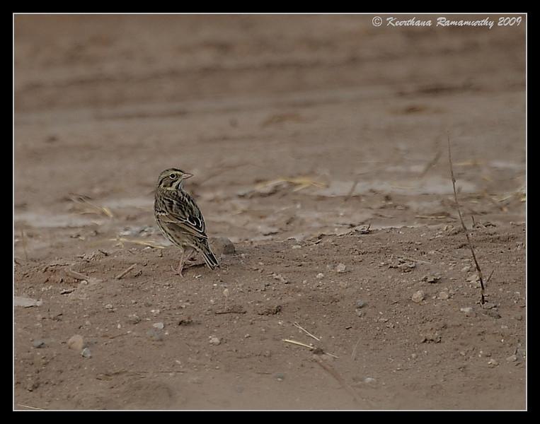 Savannah Sparrow, Sonny Bono Nature Center, Salton Sea, Imperial County, California, November 2009