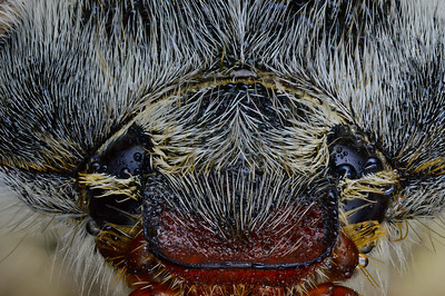 Голова майского жука