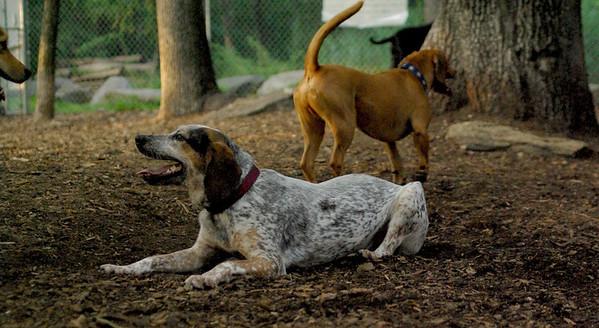 JULY 2 resize::LULU (hound pup)