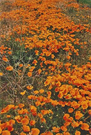 Antelope Valley Poppy Preserve: Trips