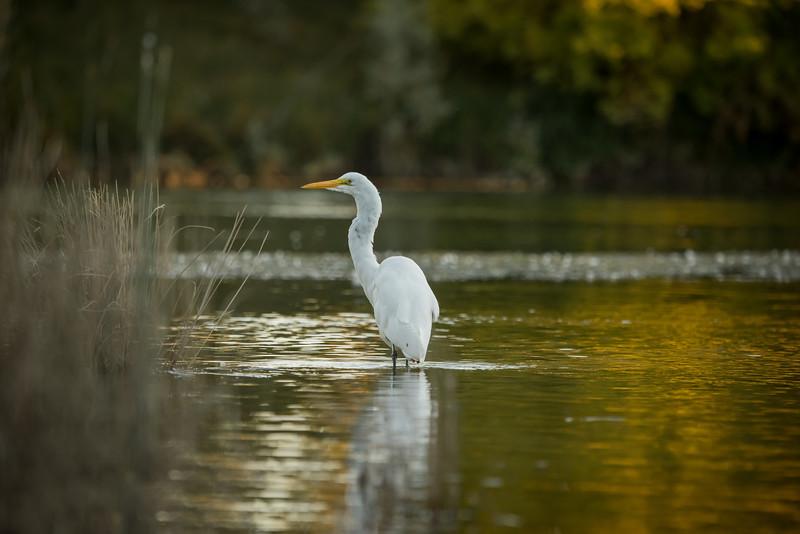 AR Ponds Egret Rect No C 8-25-16-7689.jpg