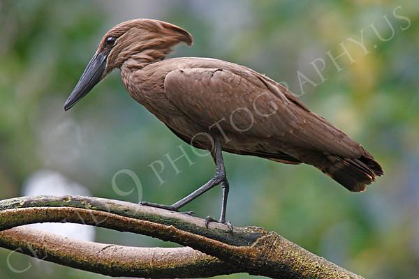 Hamerkop Wildlife Photography