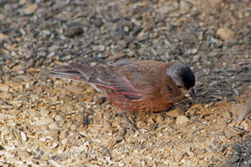 Gray-crowned Rosy Finch ~ This finch was photographed at Virginia Lakes Resort.  This is a very high elevation bird, and isn't usually easy to find.  I was very happy to see it there.