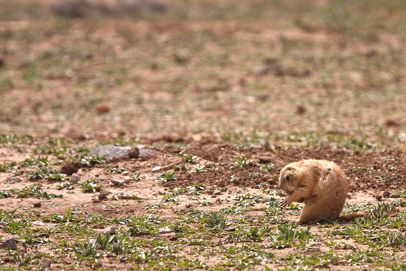 Prairie Dog-6