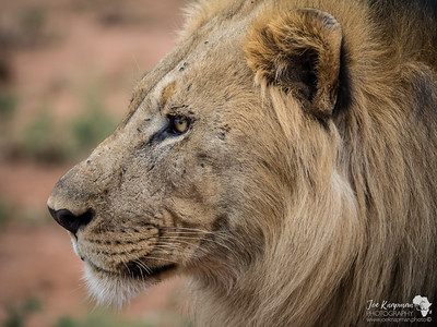 Regal Features of a Male Lion