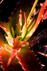 dorotheae