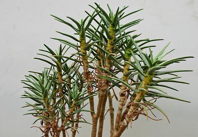 Coromandel Cacti