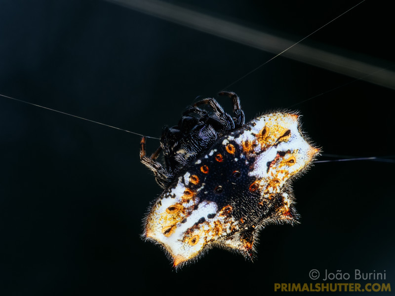 Spined orb weaver with a black, yellow and white pattern