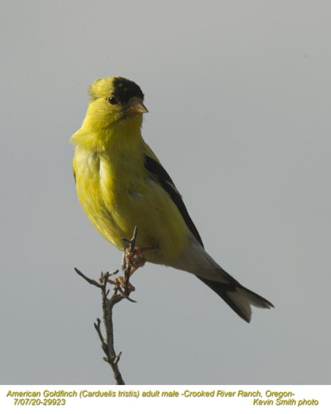 American Goldfinch M29923.jpg