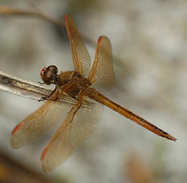 Libellula auripennis (Golden-winged Skimmer), GA - male