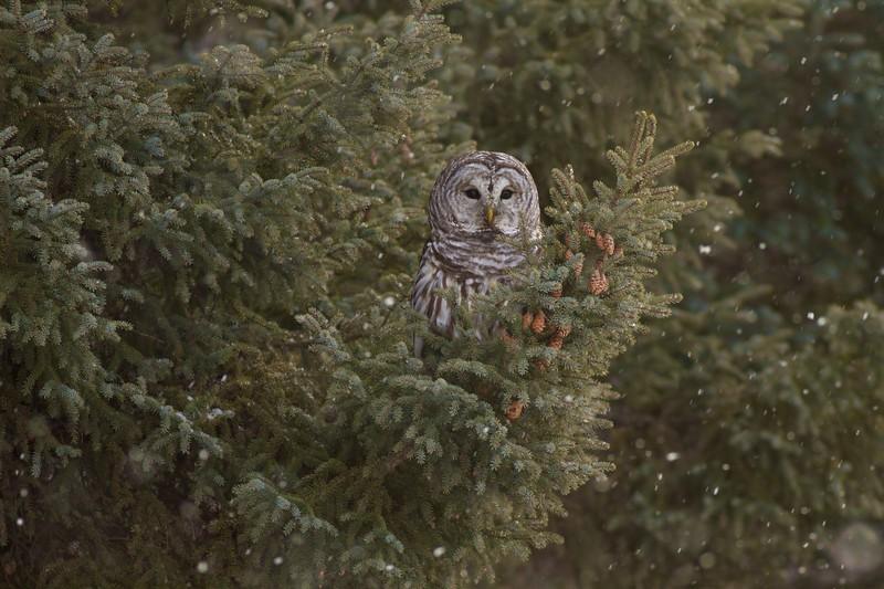 Barred Owl Peary Road near Yellow-bellied Bog Sax-Zim Bog MN IMG_7704.jpg
