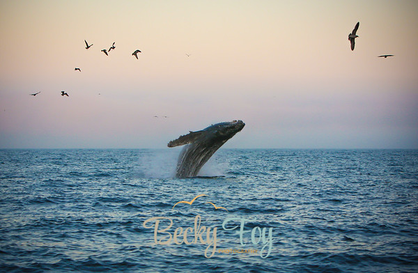 Whales of Santa Cruz - Oct 19, 2013
