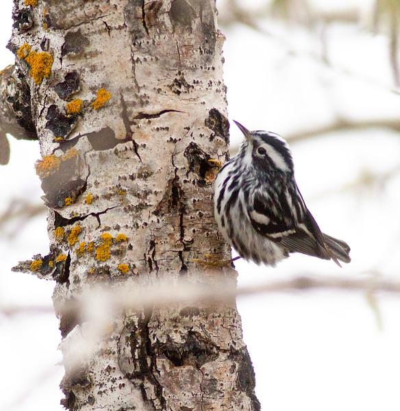 Black-and-white Warbler Nichols Lake Road Warbler Wednesday 1 2019 May 8 Sax-Zim Bog MN -5913.jpg