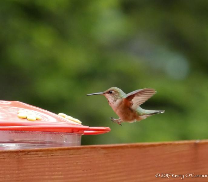 Rufous Hummingbird female landing gears open