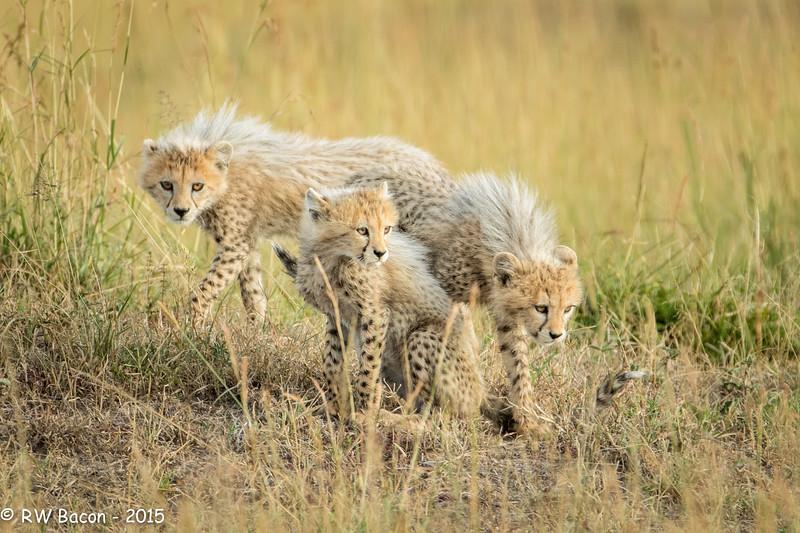 Cheetah Cubs.jpg