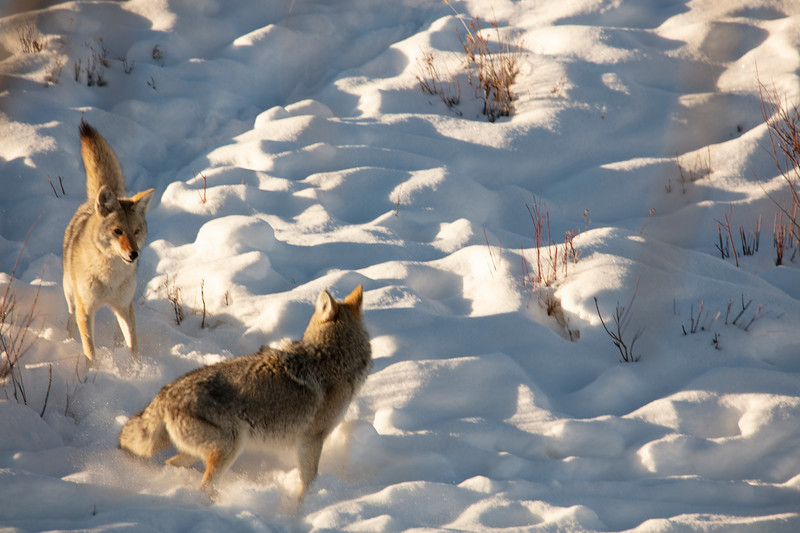 387A9570 Two coyotes fighting.jpg