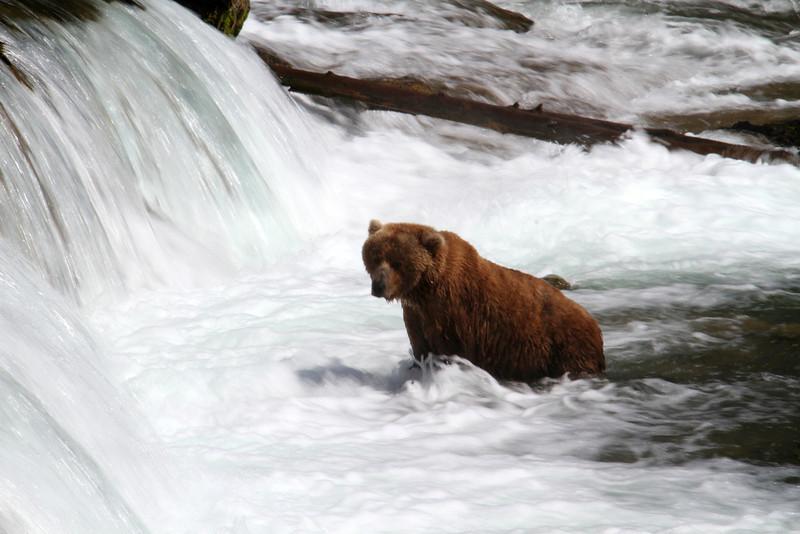 Katmai Bear10.jpg