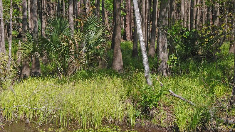 Black gum trees amid pines