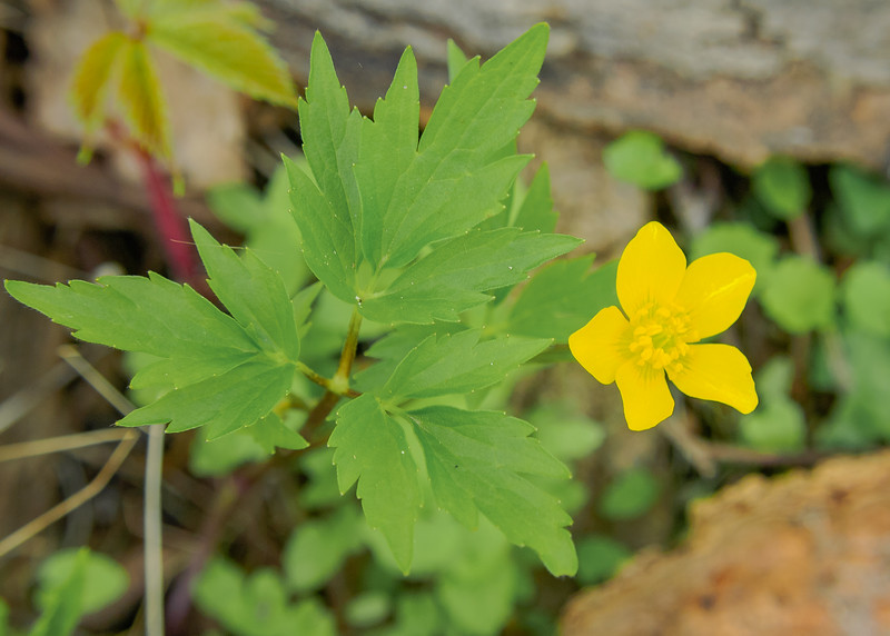 A lonely Creeping Buttercup (Ranunculus repens) at Ferrettie-Baugo Creek County Park, Osceola, IN