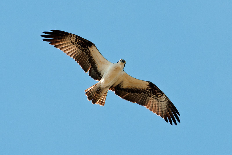 Osprey - Bowman's Beach - Sanibel Island, FL