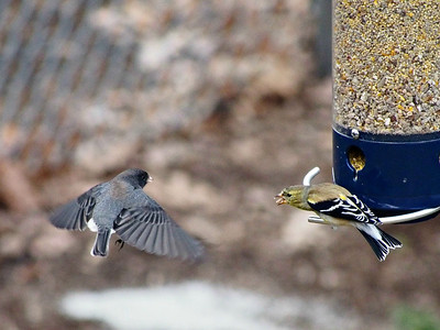 Backyard Birds (and other critters)