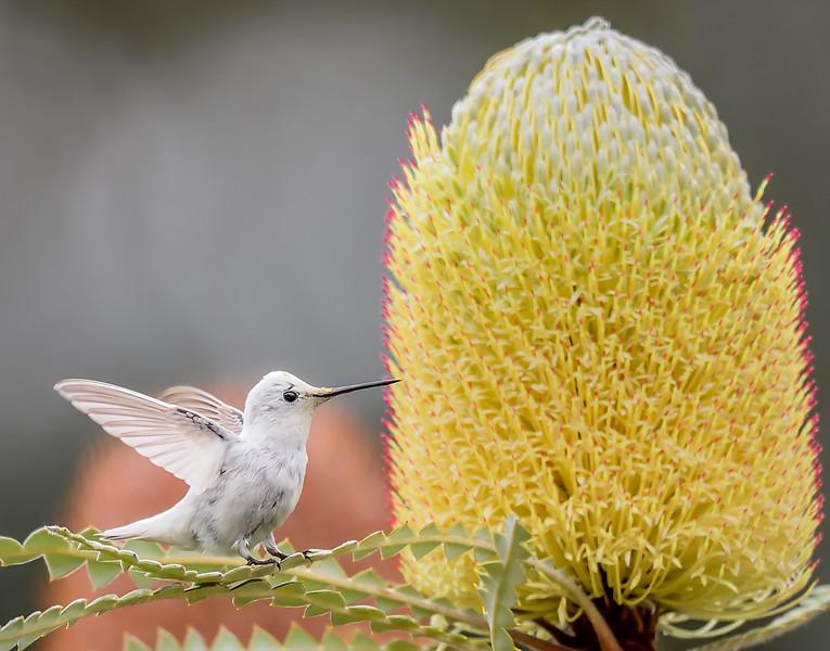 Leucistic_Hummingbird BradRLewis