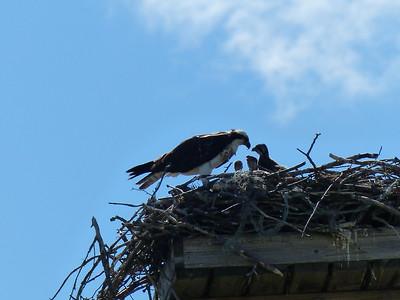20160621C Osprey Feeding Nestlings