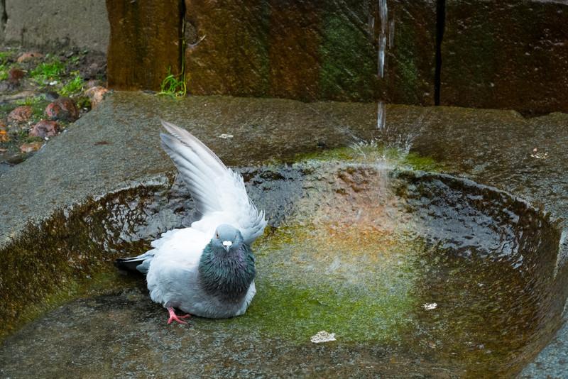Pigeon Bathing F2054.jpg