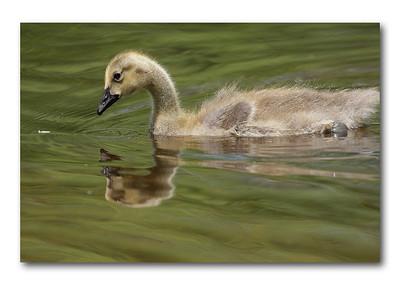 Great Meadows (duckies)