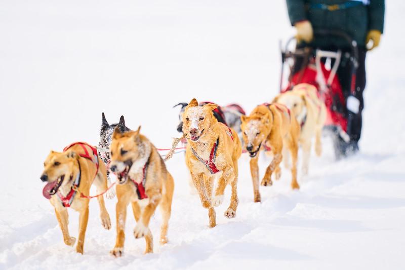 406    RobertEvansImagery.com IG @RobertEvansImagery   Klondike Dog Sled Race 2-9-2020.JPG