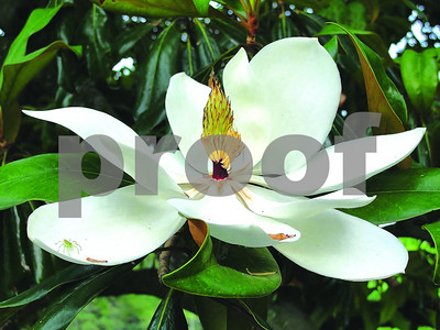magnolia-is-the-grand-old-tree-of-the-south