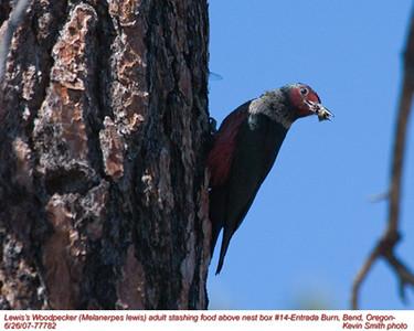 Lewis'WoodpeckerA77782.jpg