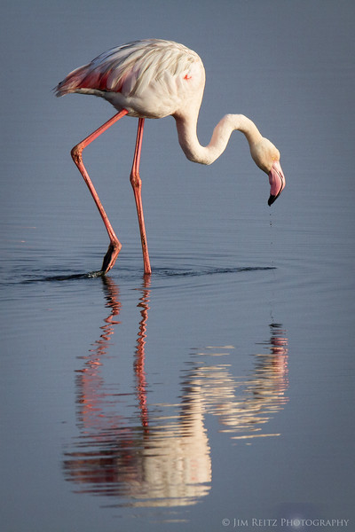 flamingo near Walvis Bay, Namibia.