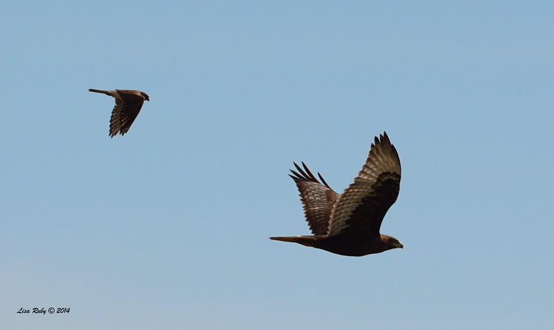 Dark morph Ferruginous Hawk and Kestrel - 12/7/2014 - Rangeland Road, Ramona
