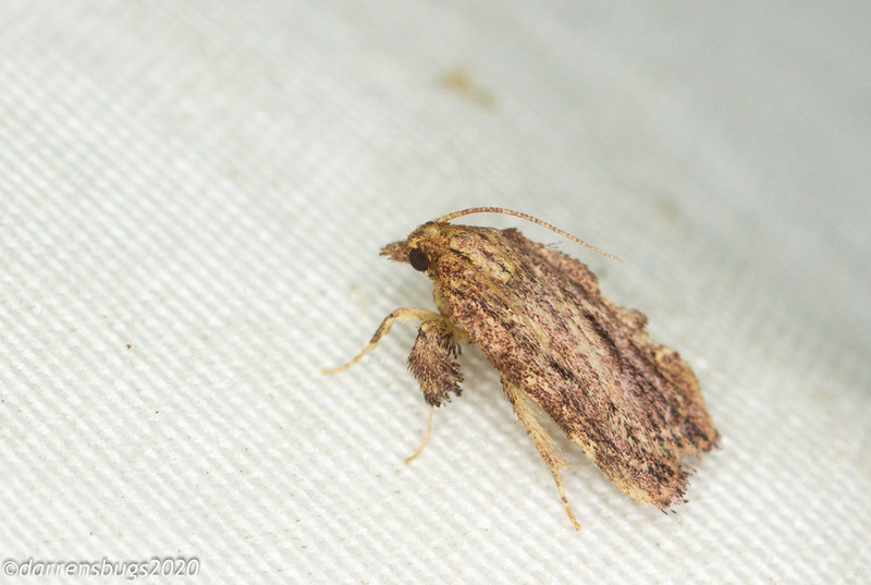 Snout moth, likely either Galasa or Negalasa sp. (Pyralidae), from Panama.