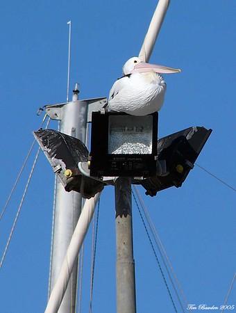 Birds - Pelicans, Cormorants & Grebes