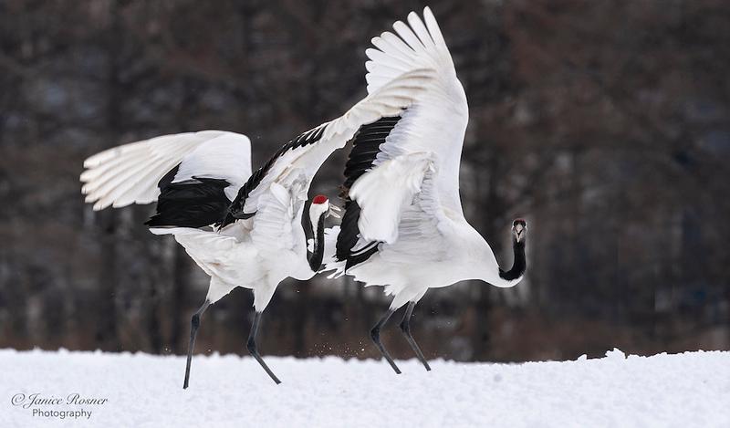 Red Crown Cranes Dancing