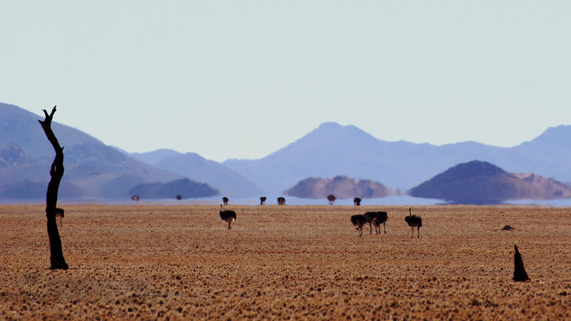 Ostriches and Mirage in the Desert - Namibia
