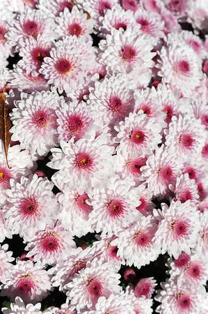 New York Botanical Gardens - Kiku