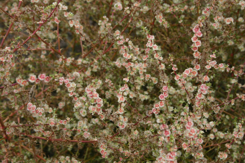 Russian Thistle, Salsola iberica, not native