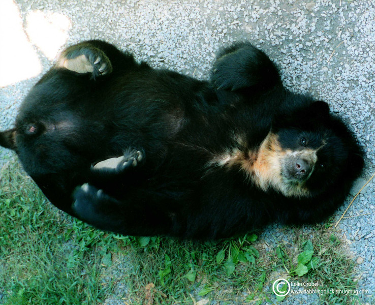 A spectacled bear, Tremarctos ornatus, lying on her back, Ross Park Zoo, Binghamton, NY. 2001?