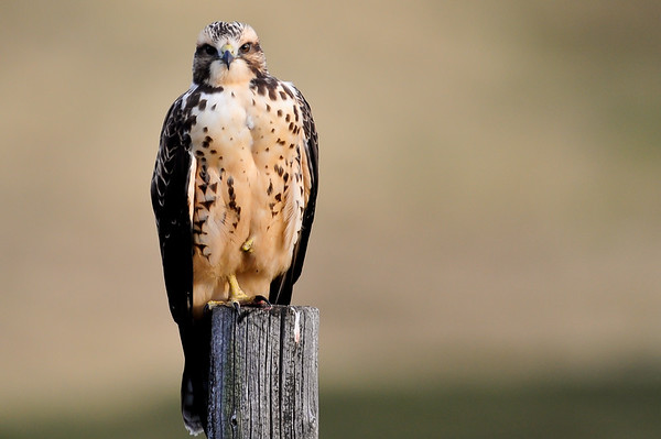 9 2011 Sept 16 Young & Innocent Hawk