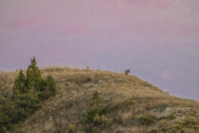 Coyote Theodore Teddy Roosevelt National Park Medora ND IMGC0743-2.jpg
