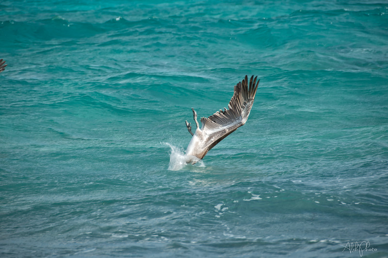 Pelican_11